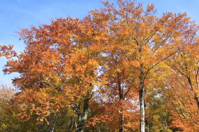 Lasy bukowe pod Dąbrowską Górą